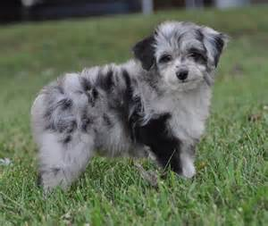 Aussiedoodle australian shepherd poodle mix info puppies pictures