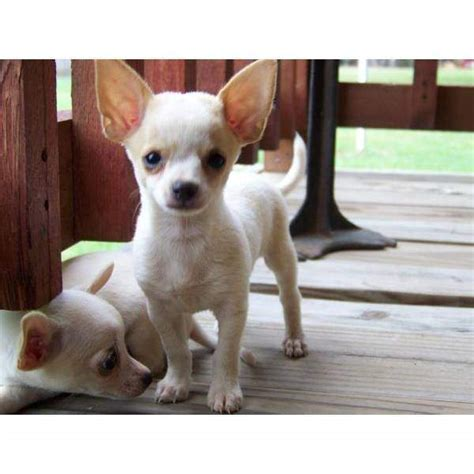 chihuahua puppies for adoption chihuahua puppies for adoption thailand pictures of dogs litle pups