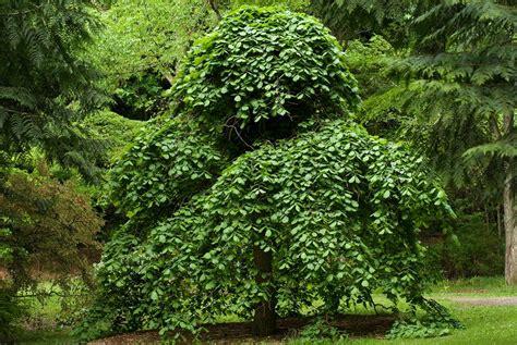 weeping trees 19 species of weeping trees