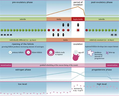 Ovulation After C Section by Menstrual Cycle And S Fertility Explained