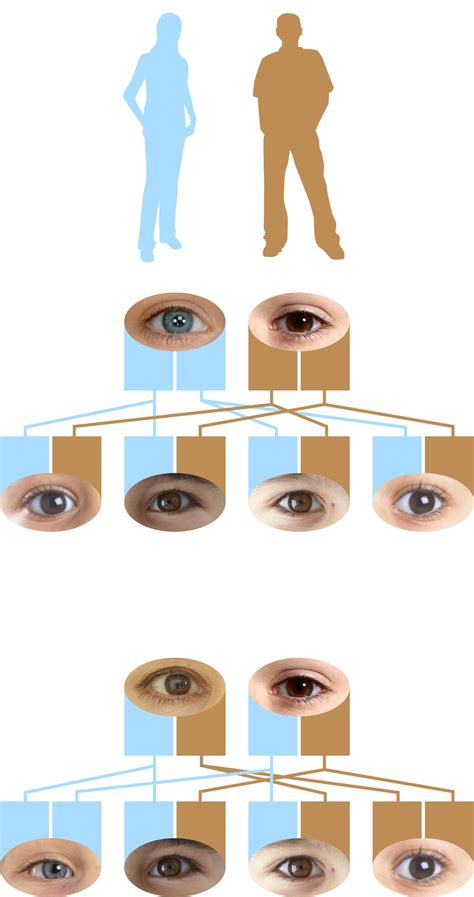 what color are dominant recessive genes dominant eye color dk find out