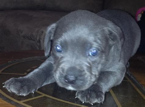 breed blue nose pitbull puppies for sale new york 11691 usa blue nose pit bull puppies f