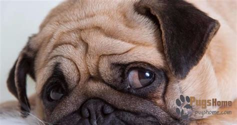 rescue dogs pugs the pacific rescue pugs are extremely affectionate dogs to pet