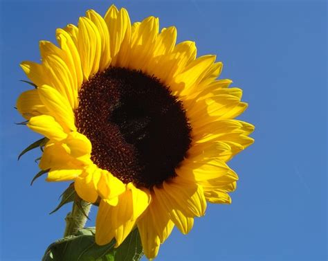 Aigner Sunflower Fashion Blue Coulor Diskon free sunflower in blue sky stock photo freeimages