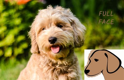 beard optionms for poodles face clips timberidge goldendoodles