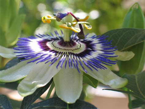 fiori brasiliani seinet arizona chapter passiflora caerulea