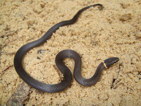 black snake in backyard black snake yellow ring florida ringneck snake in our