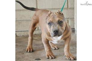american pitbull terrier colors meet hercules a american pit bull terrier puppy for