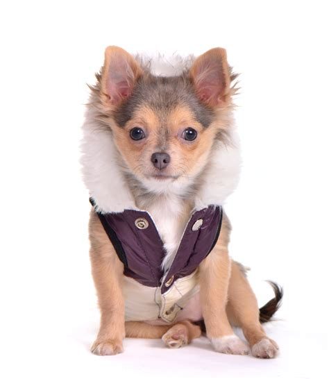 chihuahua puppy clothes chihuahua clothes and accessories at the chihuahua wardrobe