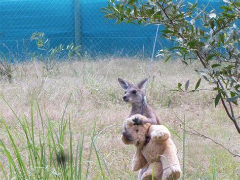 doodlebug kanguru orphaned baby kangaroo just wants to hug his teddy