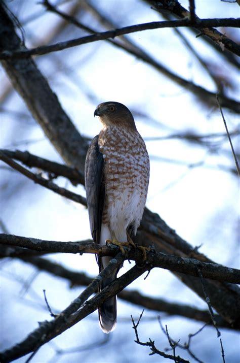 identify peregrine falcons