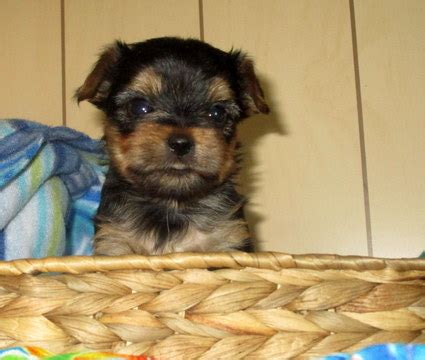 yorkie puppies for sale oregon view ad terrier puppy for sale oregon merrill usa