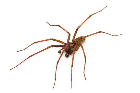 common house spiders house spiders and other spider infestation problems