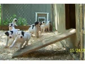 american bulldog puppies for sale in va american bulldog puppies in virginia