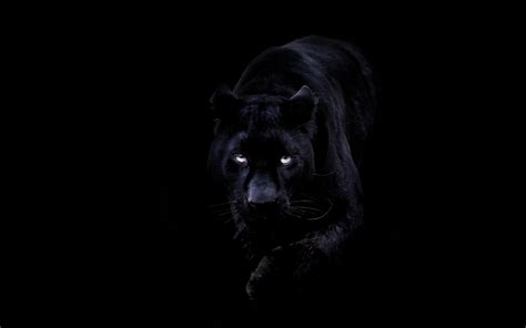 bd animal dark black pahter art illustration wallpaper