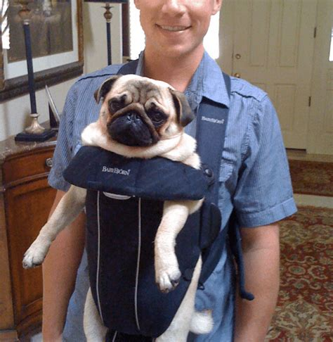 pug pet carrier 13 dogs stuffed in babybj 246 rn who their lives barkpost