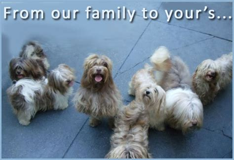 nyc havanese nyc havanese home raised puppies nyc chion breed havanese new york city