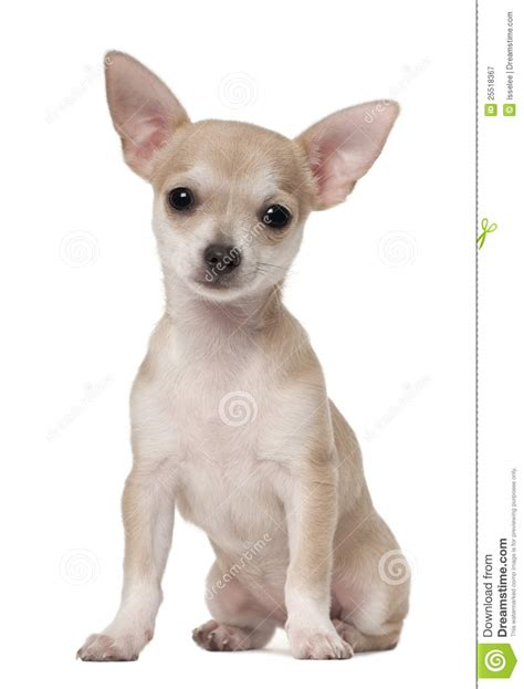 3 month puppy chihuahua puppy 3 months sitting royalty free stock photography image 25518367