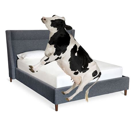 a bed how many cows can fit on a bed dekay s blog