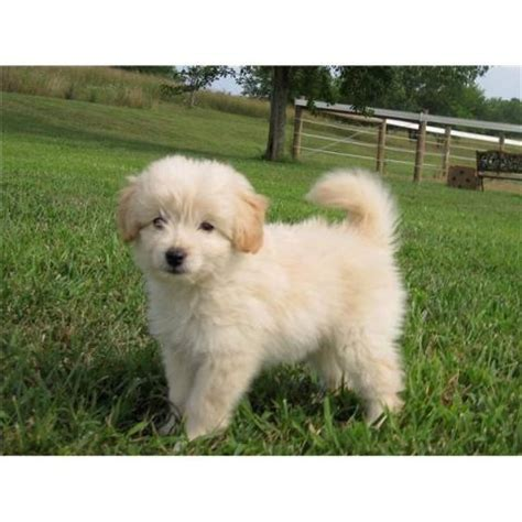 goldendoodle puppy toys i want this goldendoodle horses puppies and