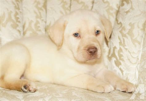 lab puppies for sale in ga yellow labrador retriever puppies for sale in adrian classified