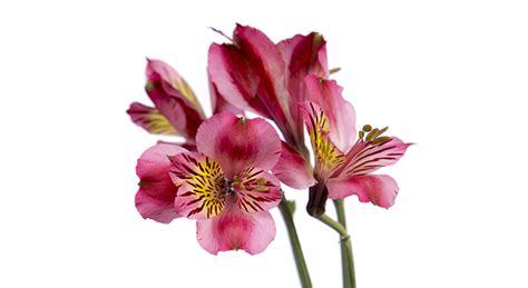 alstroemeria colors floral design institute alstroemeria alstroemeria