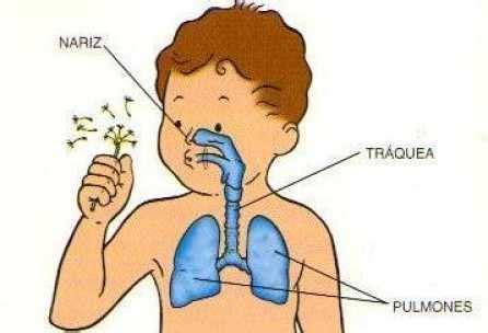 imagenes del sistema respiratorio ingles cuerpo humano 243 rganos diversos web del peque