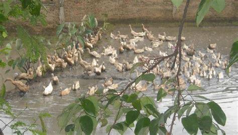 Cacing Di Sawah melihat bebek berpestapora nurfajrian s
