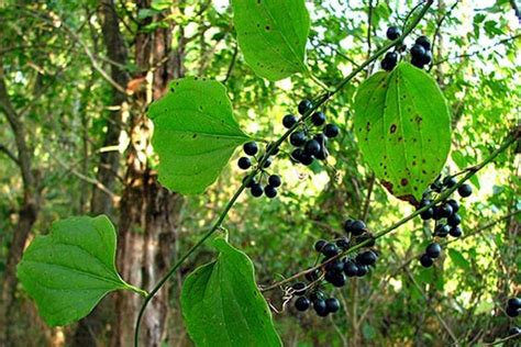 edible climbing plants the world s catalog of ideas