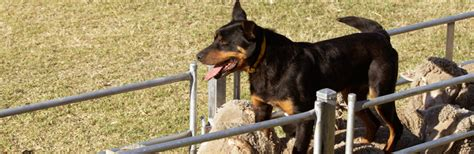 bench kelpie puppies sale ben page s working dog centre page dogs for sale