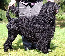 chien d'eau portugais — wikipédia
