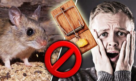 how to get rid of mice in the house get rid of mice the signs of house mice what does a mouse eat and how to trap them