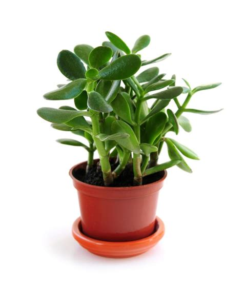 jade plant didn t sprout two branches at pruning jade plants how to plant grow and care for jade plants