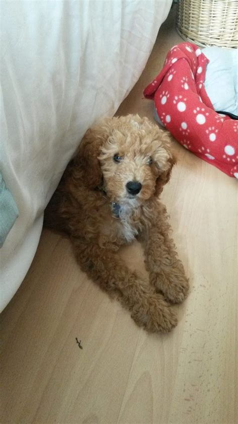 cavapoochon puppies for sale golden and black cavapoochon puppies for sale lancashire pets4homes