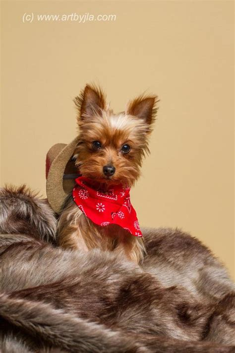 yorkie dogs for sale in baton 677 best images about yorkie on yorkie