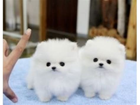 pomeranian breeders south west teacup pomeranians adults rc auta info