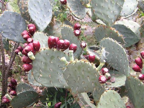 image prickly pear cactus fruit download free prickly pear cactus stock photo freeimages com