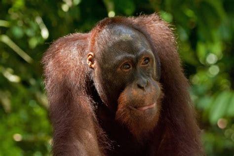 a lifelong love of orangutans - Skiff Orangutan