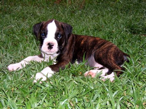 brindle boxer brindle colored breeds breeds