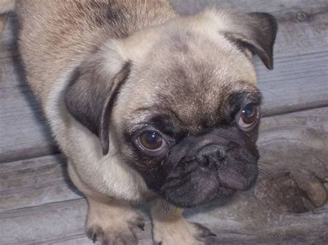 pugs for sale in dallas tx akc pug chion bloodlines for sale adoption from greenville dallas