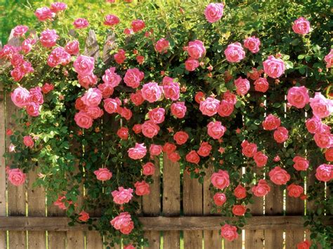 lovely climbing roses pretty in pink pinterest