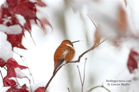 winter rufous hummingbird in snowy pennsylvania birding