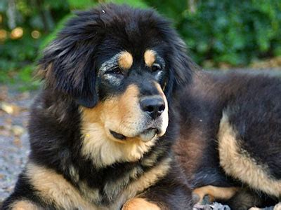 Tibetan Mastiff   Information, Characteristics, Facts, Names