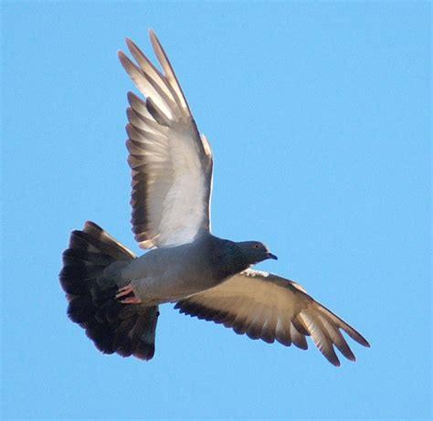 imagenes de palomas blancas en vuelo im 225 gen de paloma volando imagui