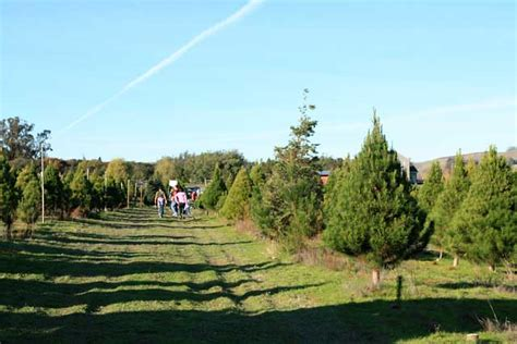 u cut christmas tree farms in petaluma marin mommies