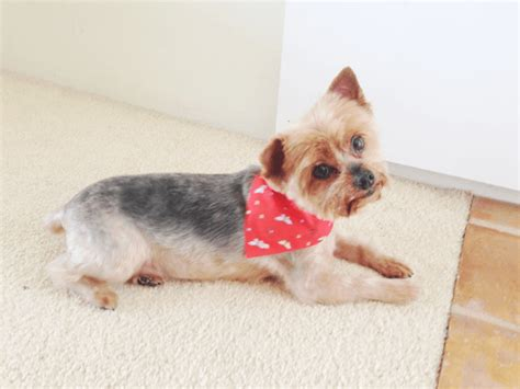 yorkie summer cut yorkie summer cut archives fashionlush