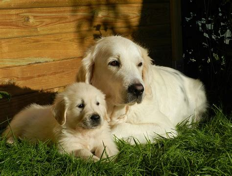golden retriever study 3 000 golden retrievers may hold the answer for cancer in dogs this s