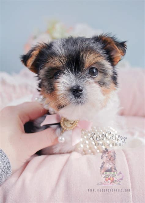 biewer yorkie puppies for sale in florida biewer terrier puppies for sale by teacups puppies boutique teacups puppies
