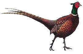pheasant hunting clipart