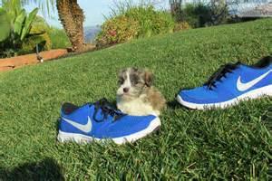 havanese san diego havanese puppy for sale near san diego california ac11675b 63e1